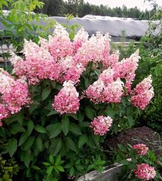 Hortensja bukietowa / Hydrangea paniculata PINKY WINKY 'DVPPinky' PBR
