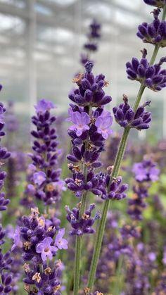 Beautiful Nature Scenes, Beautiful Flowers Garden, Flowers Nature, Violet Garden, Purple Garden, Lavender Aesthetic, Flower Aesthetic, Beautiful Landscape Wallpaper, Nature Wallpaper