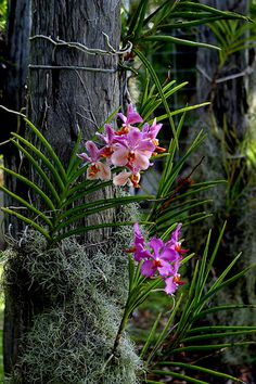 Vanda orchid on old bridge timbers. The Spanish Moss is actually the smallest bromeliad. It gives orchid roots sun protection and helps retain moisture. Vanda Orchids, Orchids Garden, Orchid Plants, Garden Plants, Flowers Garden, Tropical Garden, Tropical Plants, Exotic Flowers, Beautiful Flowers