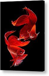 Siamese Fish by Subpong Ittitanakul - Siamese Fish Photograph - Siamese Fish Fine Art Prints and Posters for Sale