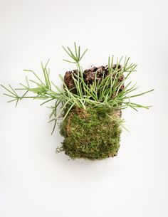 Jungle Cactus Cork Mount - Small - Pistils Nursery