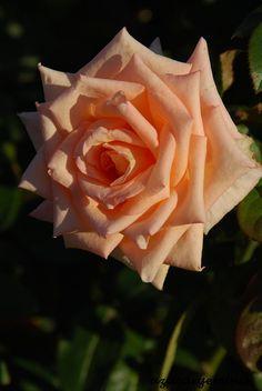 'Vanilla Perfume' | Hybrid Tea Rose. Dr. Keith W. Zary , 1999 | Flickr - © azucargeminis