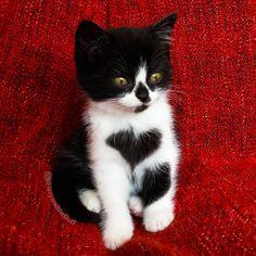 Zoe, the Cute Little Baby Kitten who literally wears her Heart on her Chest - Aww!