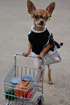 5 Chihuahua Facts That Will Blow Your Mind: Detailed Cost, Animals, Chihuahuas, Dogs, Pets, Funny, Shopping, Chichi