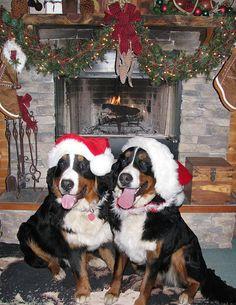 A Berner Merry Christmas, Waldo & Breckee via Flickr.