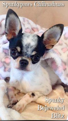 Spunkypaws Chihuahuas - Spunky Bejeweled Blitz   Bred by: Dana Baker