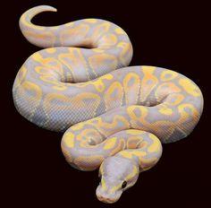 'Pastel Banana' ball python.