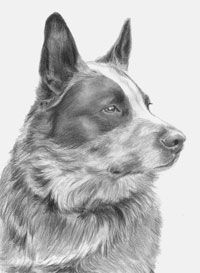 Badger, a Blue Heeler by Maria D'Angelo (on fb) Animal Sketches, Animal Drawings, Dog Sketches, Dog Rules, Dog Paintings, Australian Cattle Dog, Dog Art, Pet Portraits, Pet Birds