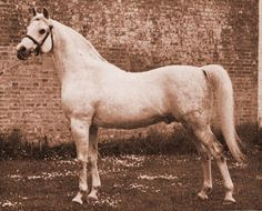 Indian Magic [Raktha x Indian Crown] Lady Wentworth strove for decades to achieve what she considered to be the ultimate Arabian-a horse of type and extraordinary presence, with superb motion, and larger size to appeal to those for whom Arabians were a bit small. She bred her masterpiece in Indian Magic, foaled at Crabbet in 1944.