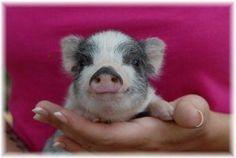 Criaderos de Mini Pigs