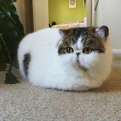 Sunday loaf, anyone? Extra fluffy and white! ☀️ #arizonaricecakes #exoticcat exoticshorthair #persiancat #catloaf #fluffy #instacute #flatfacecat#squishyfacecrew #heartshapednose