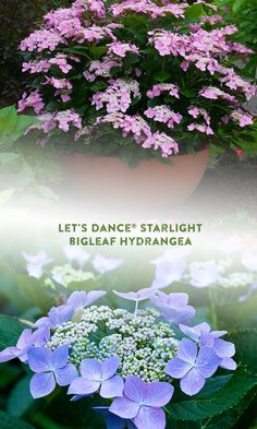 A real workhorse, Let's Dance Starlight is the first reblooming lace-cap hydrangea and has exceptionally vibrant flower color. It's an elegant addition to any garden where it does well in groupings or masses, in shrub borders, as a specimen, screen or hedge. It also makes excellent cuttings, adding bright color to your summer flower arrangement. This hydrangea can even be planted in containers! It blooms on both new wood and old delivering seasons of flowers and lots of wow! Hydrangea Macrophylla, Summer Flower Arrangements, Summer Flowers, Hydrangea Not Blooming, Hydrangea Flower, Proven Winners, Heuchera, Flowering Shrubs, Flowers