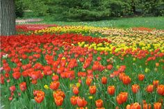 Tulip time on Mainau.