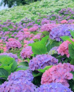 Kazahaya no Sato, Tsu, Mie, Japan, flower, hydrangea