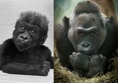 The first gorilla born in human care turned 60 years old on Dec. 22 at her home in the Columbus Zoo and Aquarium in Ohio.