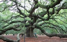 The Angel Oak in Charleston SC is believed to be 1500 years old. It's the oldest living Live Oak in America and the oldest living thing east of the Rockies.