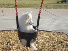 Dog In A Swing.dog runs up now and wants put in the swing! Cute Puppies, Cute Dogs, Dogs And Puppies, Baby Puppies, Baby Animals, Funny Animals, Cute Animals, Beautiful Dogs, Animals Beautiful