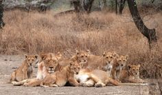 On 20th Sept. 2013 I tracked Puyol to the full Matiti pride. Here is Hara surrounded by their six cubs. Helen, Athena, Ramos and Puyol are just nearby.  ~Ingela Jansson (Serengeti Lion Report)
