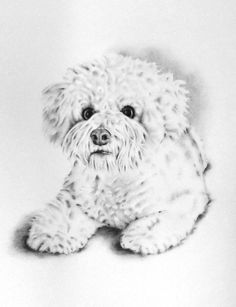 Custom Pet Portrait, Custom Charcoal Drawing, Bichon Frise, dog art, custom pet drawing