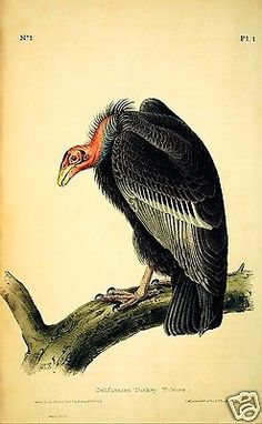 Californian-Turkey-Vulture-by-John-J-Audubon-Giclee-Print-Repro-on-Canvas