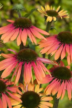 Hybrid Coneflower 'Summer Cocktail' (Echinacea x hybrida) ✫♦๏༺✿༻☘‿SA Jul ‿❀🎄✫🍃🌹🍃🔷️❁`✿~⊱✿ღ~❥༺✿༻🌺♛༺ ♡⊰~♥⛩⚘☮️❋ Flowers Perennials, Planting Flowers, Shade Perennials, Outdoor Plants, Garden Plants, Beautiful Gardens, Beautiful Flowers, Drought Tolerant Plants, Traditional Landscape