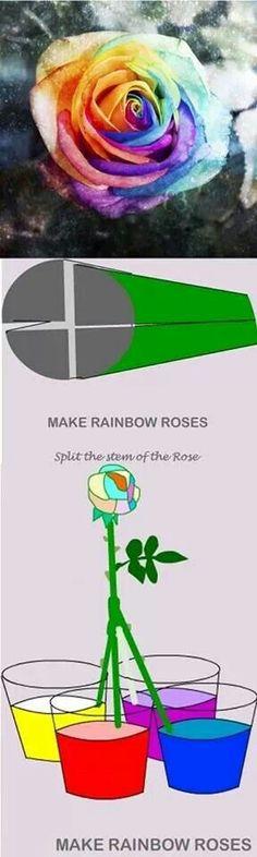 Rainbow colored rose