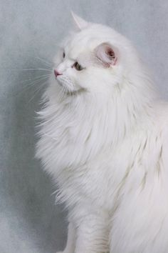 White Persian Kittens, White Kittens, Cats And Kittens, Beautiful Cats, Animals Beautiful, Cute Animals, Warrior Cats, Turkish Angora Cat, Kinds Of Cats