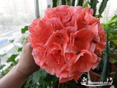 Проблемы герани/пеларгонии: неожиданное пожелтение листьев    Если вы выращиваете комнатные растения в домашних условиях, то должны обязательно ознакомиться с правилами ухода и размножения их. Эти знания помогут вам вырастить здоровый цветок, которое станет настоящим украшением вашего жилища.    Одним из представителей флоры, который можно часто встретить на подоконниках квартир, является герань или пеларгония. Ухаживать за цветком достаточно просто, хотя любое растение иногда может болеть…