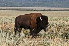 A bison in Jackson Hole