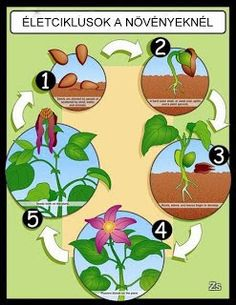 Carson Dellosa Publications The Life Cycle of A Plant Chart Interactive Activities, Science Activities, Science Projects, Activities For Kids, Sequencing Activities, Science Worksheets, Plant Science, Science And Nature, Carson Dellosa