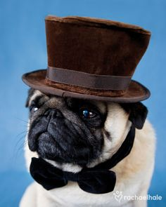 cutepugpics:  Stay classy everyone, just like Pug Bear! (via awildclineappears; original here)