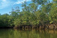 Los manglares bordean gran parte de la Bahía de Tumaco.