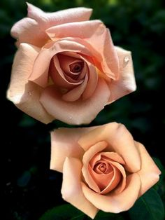 Pretty Roses, Beautiful Roses, Beautiful Gardens, Traditional Rose Tattoos, Traditional Roses, Garden Trees, Trees To Plant, Rose Photography, Rose Reference