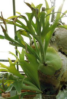 Staghorn-my winter garden plant