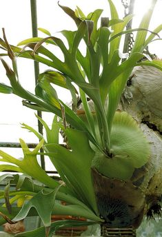 Staghorn fern for the house