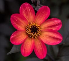 Jo Whilley Rooted Cutting All Year Round, Dahlias, Mosaics, Plants, Dahlia, Dahlia Flower, Plant, Mosaic, Planets