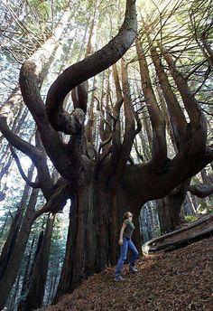 Candelabro de árboles, también conocido como árboles de misterio...