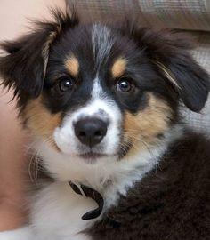 Looks so much like Tashmoo when he was a baby  australian shepherd | Charley the Australian Shepherd.....awwweee  Looks like my Mini Boomer!