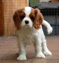 blenheim cavalier king charles spaniel puppies