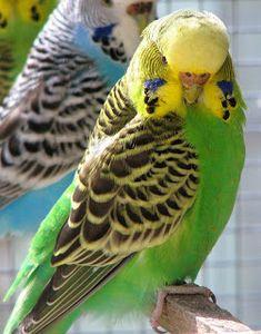 parakeets   Breeding Parakeets: Things to Do Before Breeding Parakeets