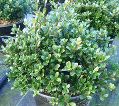 ILEX crenata 'Green Hedge' (BG9) ↕ 1,50m ↔ 1m. Petites feuilles persistantes vert franc, feuillage dense, pour remplacement du Buis. Zone USDA 5b (-26°C)