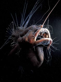 A photo of an anglerfish. This female anglerfish, Caulophryne jordani, lives deep in the Atlantic Ocean.