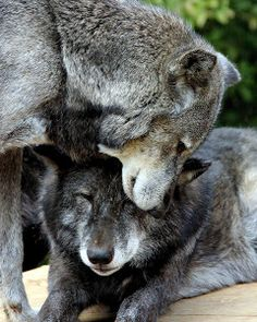 Wolf by Ralph Harvey