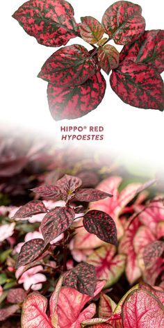 The red and dark green speckled foliage of Hippo Red hypoestes will add an element of fun to any shady spot in your landscape. No wonder this plant is commonly called Polka Dot Plant! This versatile annual grown for its heat tolerant foliage performs great both in ground and in containers. OR, bring this beauty indoors where it is adaptable as a houseplant!