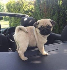 """Receive excellent suggestions on """"pug puppies"""". They are actually accessible for you on our website. Cute Pug Puppies, Little Puppies, Dogs And Puppies, Terrier Puppies, Bulldog Puppies, Boston Terrier, Bull Terriers, Cute Baby Animals, Funny Animals"""