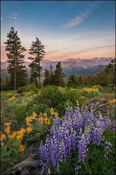 Tronsen Ridge Wildflowers - Washington State