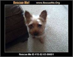 Rescue Me ID: 15-02-03-00601maxx (male)  Yorkie  Age: Puppy  Compatibility:Good with Most Dogs, Good with Kids and Adults Personality:High Energy, Very Submissive Health:Neutered, Vaccinations Current    Animal Location:  Macomb County new haven, MI MAP IT!  Contact: Stephanie nelson 5866101147   Facebook:Email to FriendProblems/CorrectionsMark As Unavailable