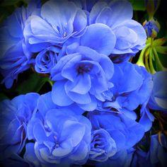 Geranium Flower 'Rose Blue' Gmo Free Seeds by GorgeousSeedsGmoFree