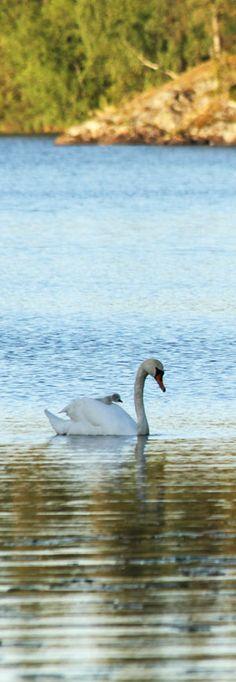 Swan in lake, Småland, Sweden