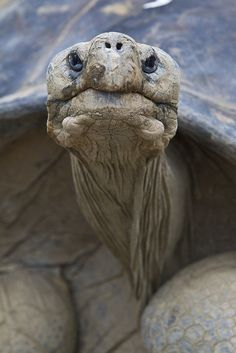 Galapagos turtle portrait